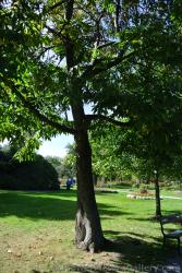 American Chestnut tree at Halifax Public Gardens.jpg