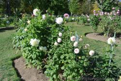 White Dahlias at Halifax Public Gardens.jpg
