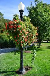 Vine with red flowers climb a lamp post at Halifax Public Gardens.jpg