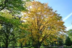 Tree with golden leaves at Halifax Public Gardens.jpg