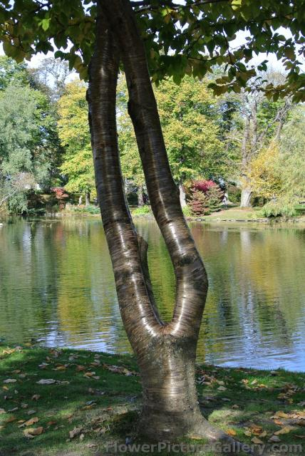 Tree with shiny trunk in front of Halifax Public Gardens pond.jpg