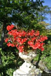 Red flowers in white stone urn at Halifax Public Gardens.jpg
