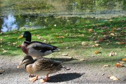 Pair of ducks in front of Halifax Public Gardens pond.jpg