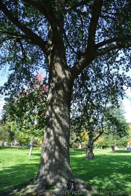 Oak Tree planted by King George VI at Halifax Public Gardens.jpg