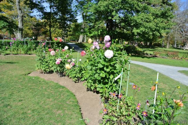 Group of colorful Dahlias at Halifax Public Gardens.jpg