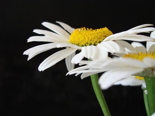 white daisies, Beautiful flower
