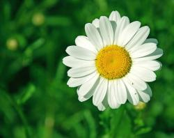 one small white daisy photo.jpg