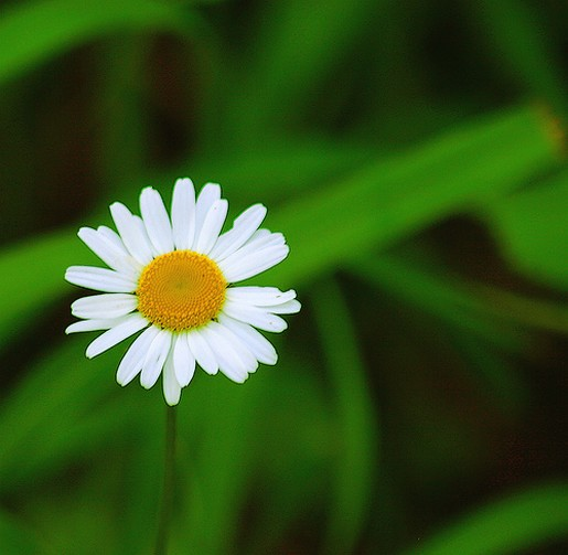 one daisy flower.jpg