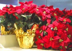 Red christmas flowers.JPG