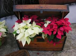 Christmas flower gift with Christmas flowers in red and white.JPG