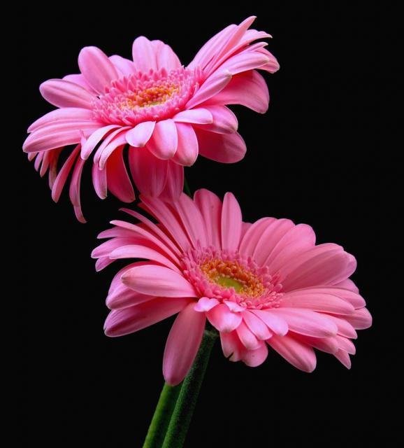 Lovely Pink Daisay Flowers Jpg