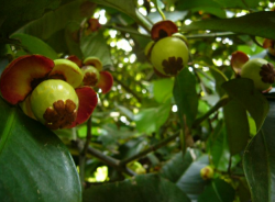 Mangosteen tree picture with young fruits still in green color.PNG