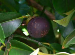 Purple fruits tree pictures_superfood fruit t tree.PNG