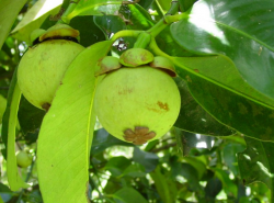 Fruit tree photo with mangosteen fruits in tree.PNG