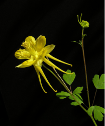 Bright yellow Columbine flowers image.PNG