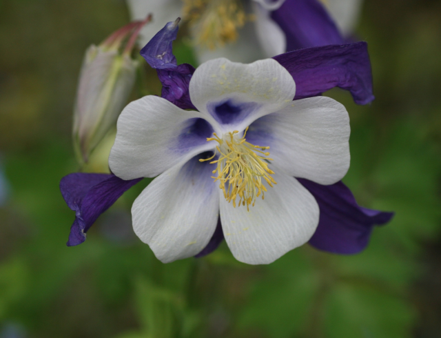 columbine flower picture gallery  photos, Beautiful flower