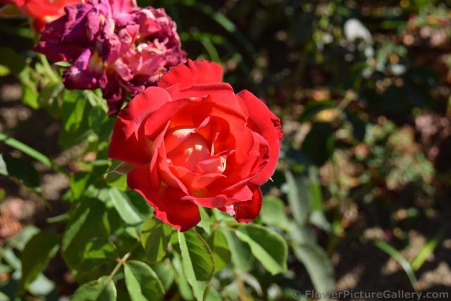 Red Rose from Malaga Spain.jpg