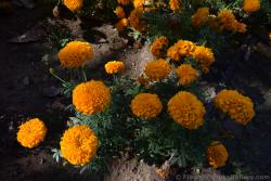 Orange Ball Flower Hydrangeas from Malaga Spain.jpg