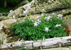 Columbine garden flowers for spring.PNG