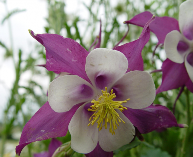 Columbine flower picture gallery 34 pics image of purple and white columbine flowers with bright yellow centerg mightylinksfo