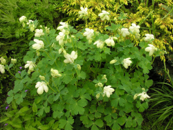 Photo of spring garden flowers with white cream columbine flowers.PNG