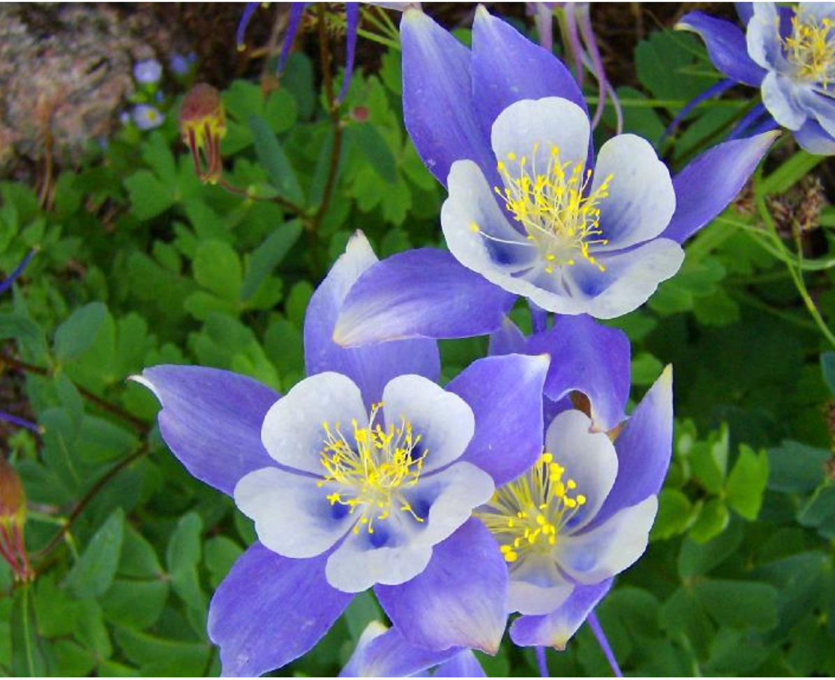 Photos of columbine spring flowers in purplish blue and yellow centers.PNG