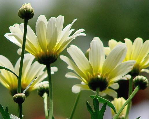 Light yellow daisy flowers in natureg mightylinksfo