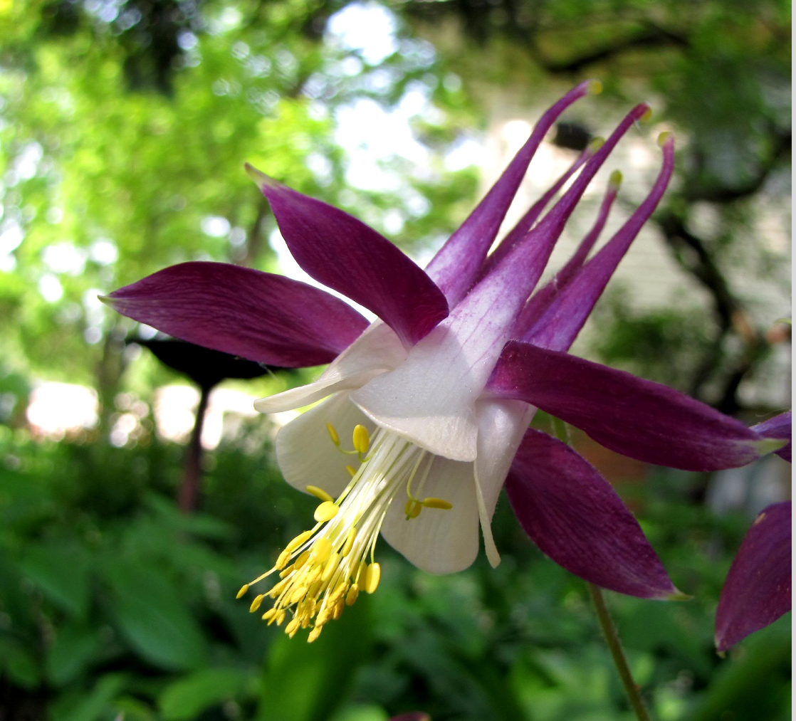 Pretty Columbine flower picture.PNG