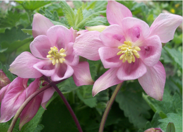 pretty columbine flowers in light pink with yellow centers hi, Beautiful flower