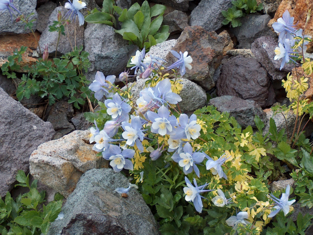 Purple blue Columbine flowers in spring.PNG
