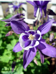 Purple spring flowers columbine blooming.PNG