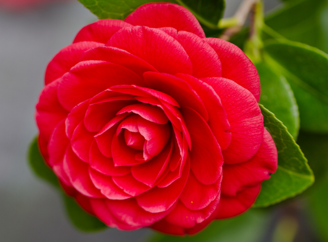 Bright Red Camellia Flower With Close Up Photo Shoot Png