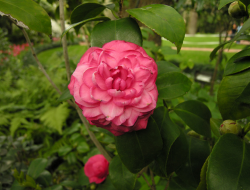 Camellia srubt_pretty pink Camellie flowers with small and big buds.PNG