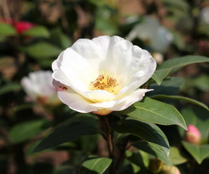 Close up image of white camellia flower.PNG