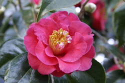 Close up photo of hot pink Camellia flowers.PNG