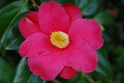Close up picture of Camellia Japonica flower in hot pink color with yellow center.PNG