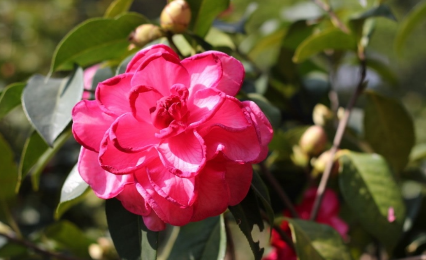 CLose up picutre of Camellia Japanese flowers in hot pink.PNG