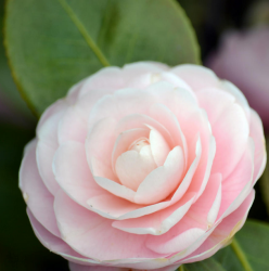 Elegant looking flower_Camellia flower in very light pink.PNG