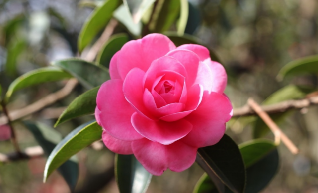 Eye catchying camellia flowers_Japanese flowers pictures.PNG
