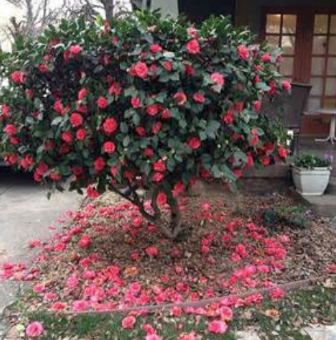 Hot Pink Camellia flowers tree photo.PNG