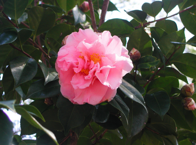 Japanese Camellia Flower in pink color.PNG