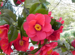 Japanese Camellia flower Tree with hot pink flowers and yellow center.PNG
