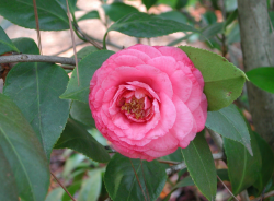 Japanese Camellia picture_Beatiful Japanese flowers photos.PNG