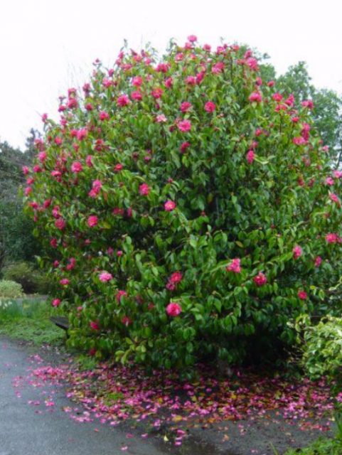 Large Camellia Flowers Tree With Hot Pink Png