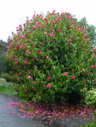 Large Camellia flowers tree with hot pink flowers.PNG