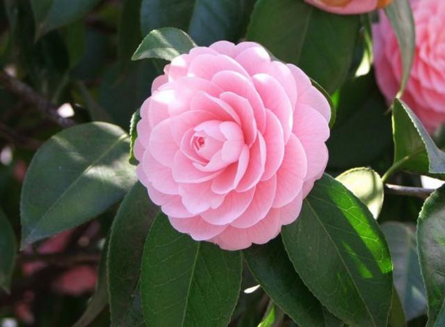 Light pink camellia plants picture png hi res 720p hd - Camelia planta ...