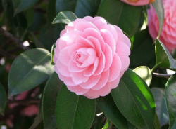 Light pink Camellia plants picture.PNG