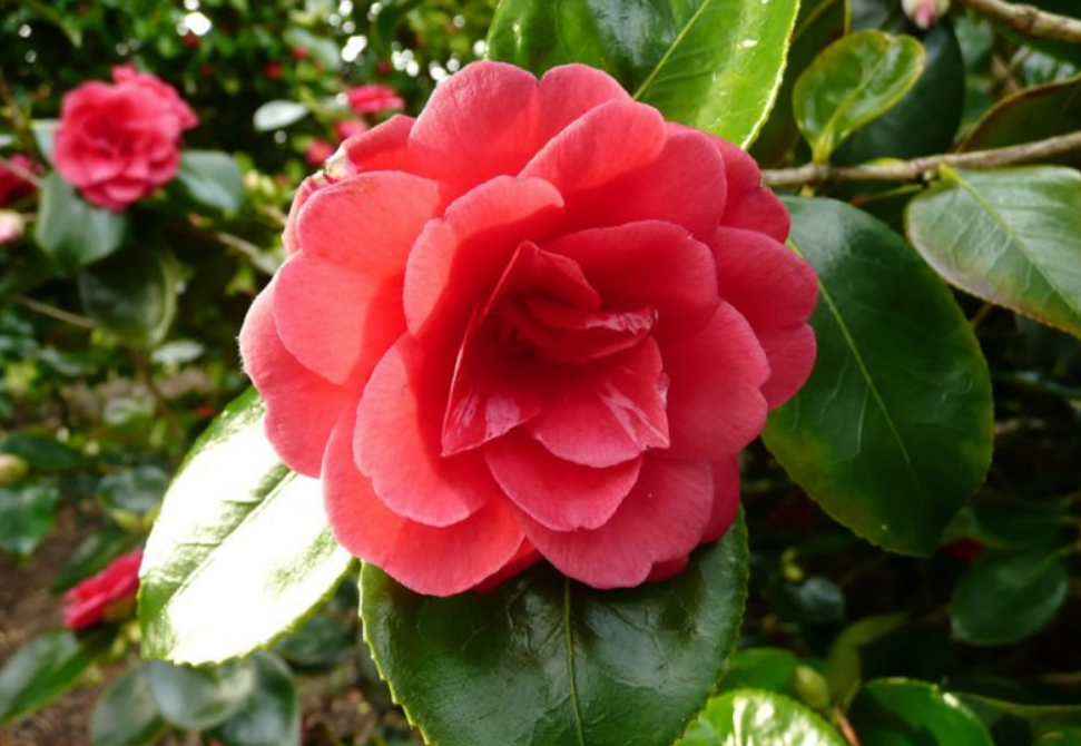 Orange red Camellia flwoers pictures.PNG