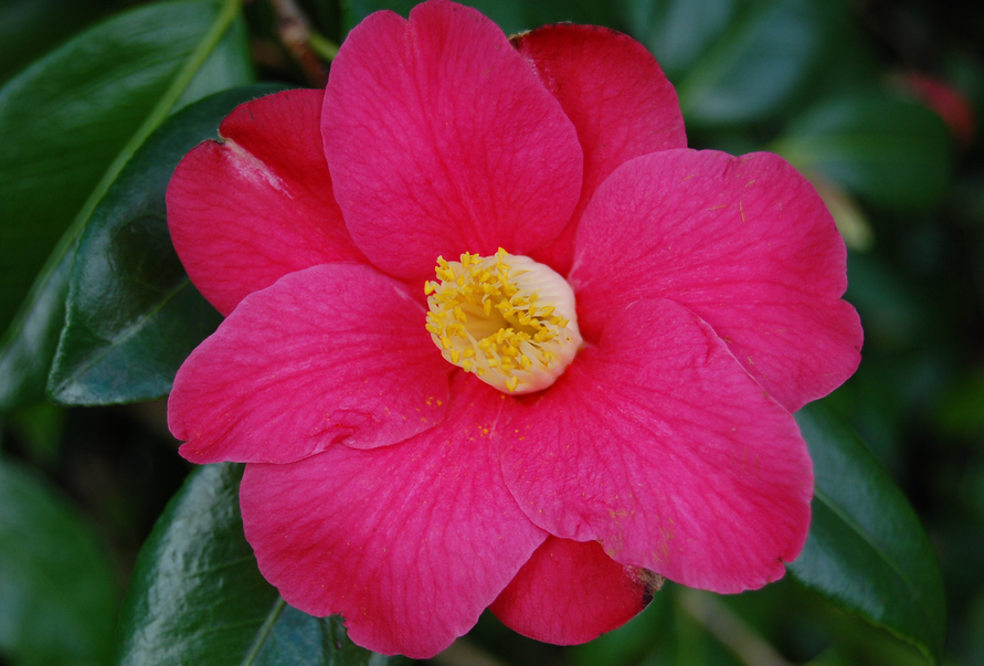 Photo of Camellia flower.PNG
