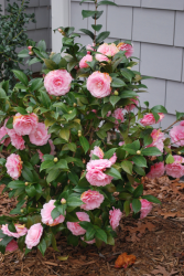 Pink Camellia flowers bush pictures.PNG